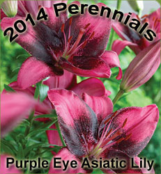 Lily Asiatic Purple Eye